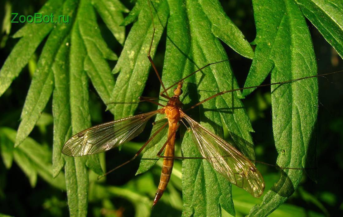 Опасны ли большие комары?