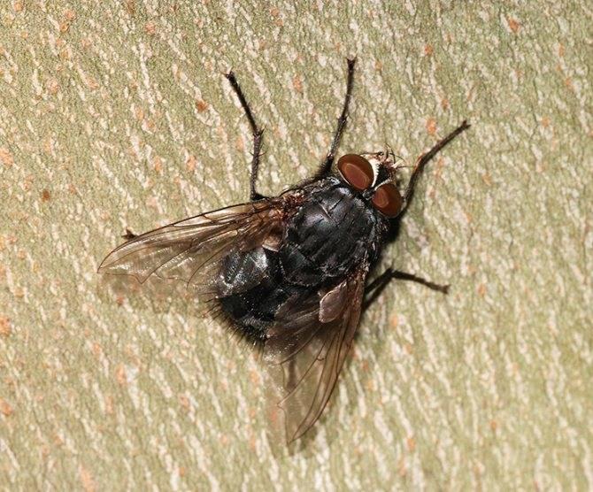 Пчеловидка цепкая— муха, притворяющаяся пчелой