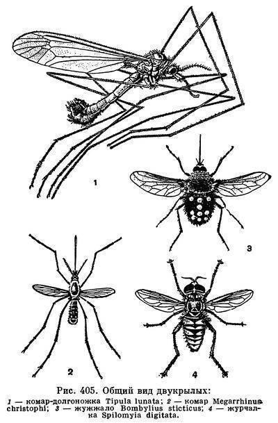 Опасен ли большой комар: кусается он или нет?