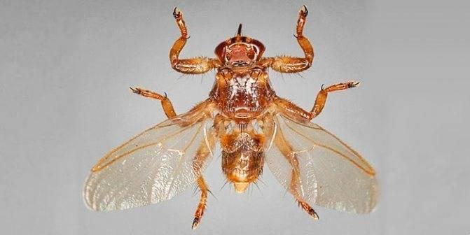 Насекомые (жуки) похожие на клещей - как выглядят и как избавиться