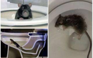 Крысы в унитазе как бороться и что делать?
