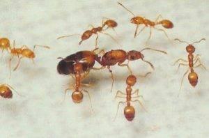 Как избавиться от рыжих муравьёв в квартире навсегда