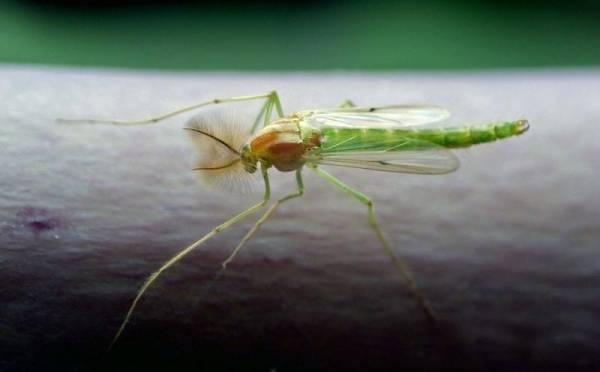 Комары-звонцы