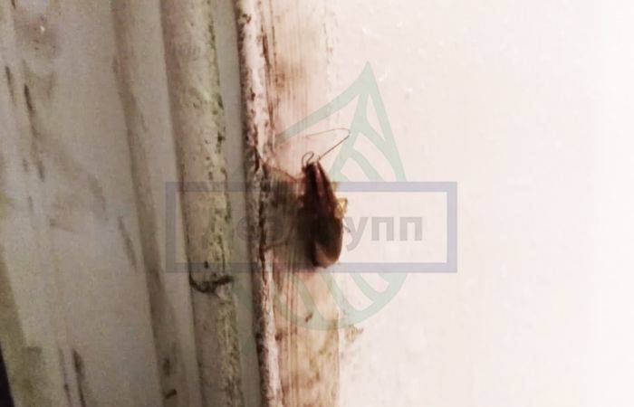 Чем питаются тараканы в условиях заражения и разведения