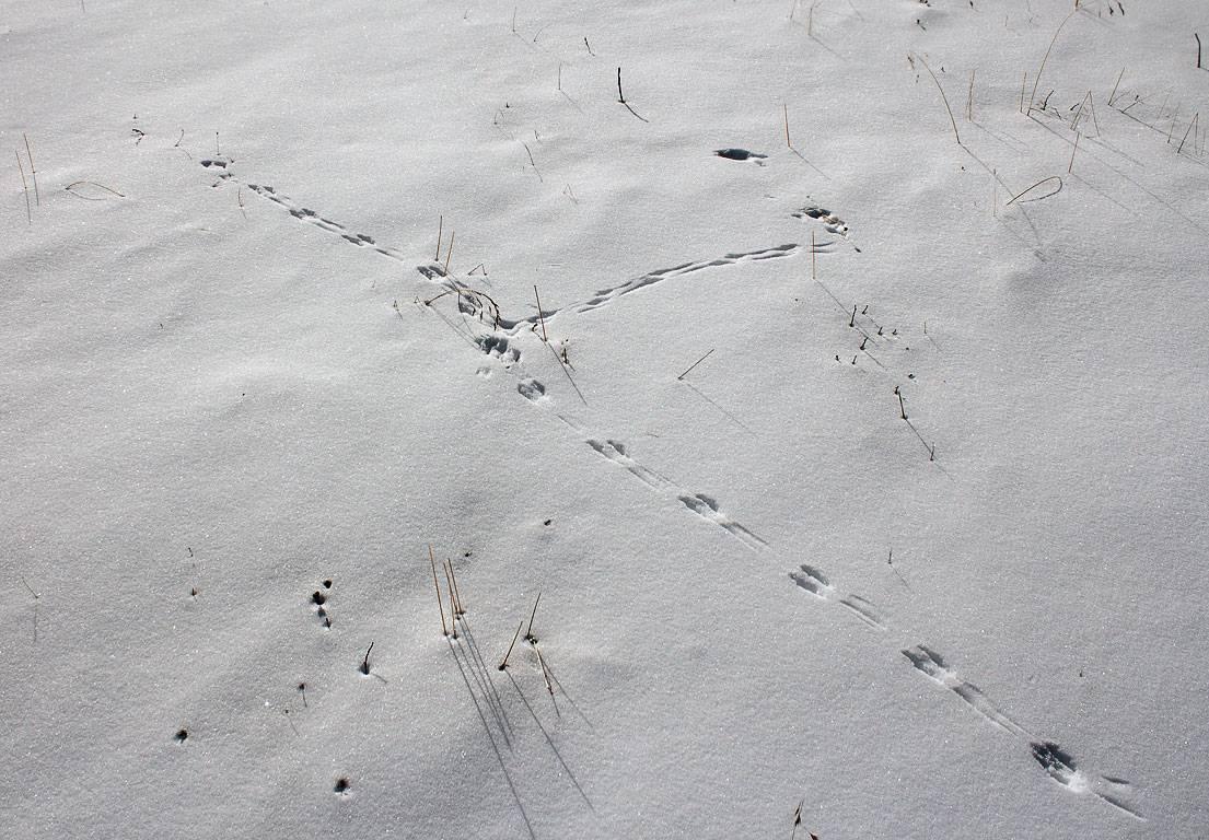 След мыши на снегу фото