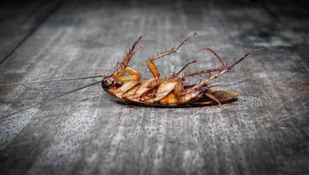 Переносимость домашними тараканами холода