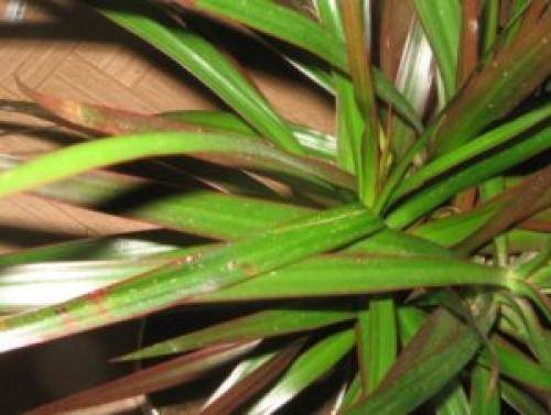 Спасаем растения от щитовок и ложнощитовок
