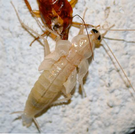 Тайны и домыслы о белых тараканах-альбиносах: откуда взялись, что это вообще такое, опасны ли для человека. где тараканы обычно прячутся в квартире и могут ли они ползти из канализации? тараканы мутанты