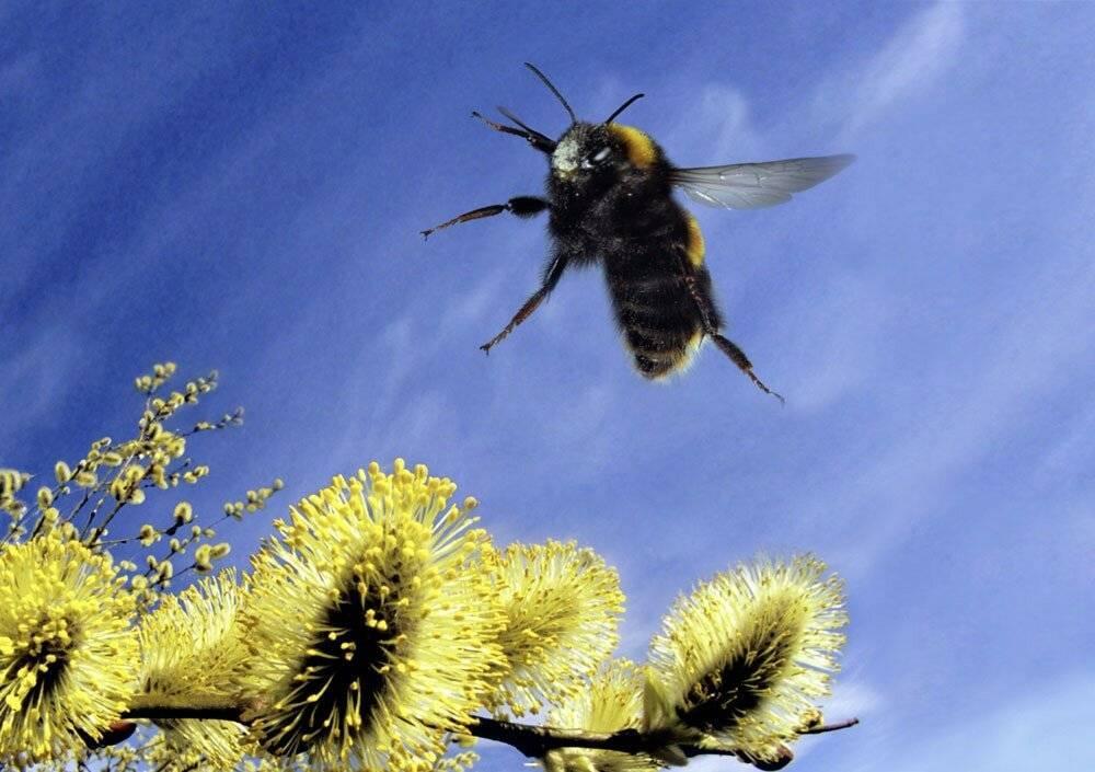 Шмель насекомое. образ жизни и среда обитания шмеля