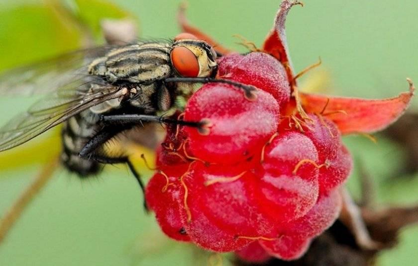 Болезни и вредители земляники и малины: фото, описание и способы борьбы