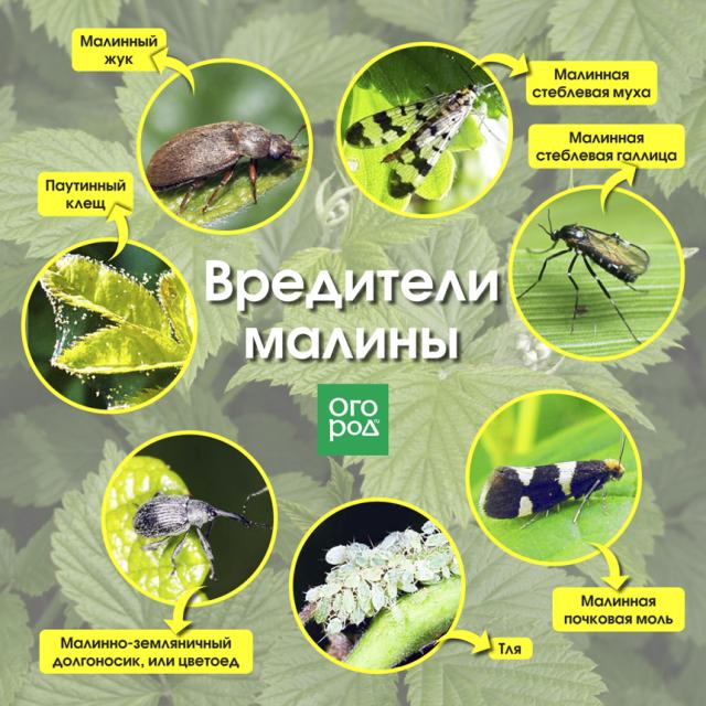 Основные вредители и болезни садовой малины — симптомы и методы устранения