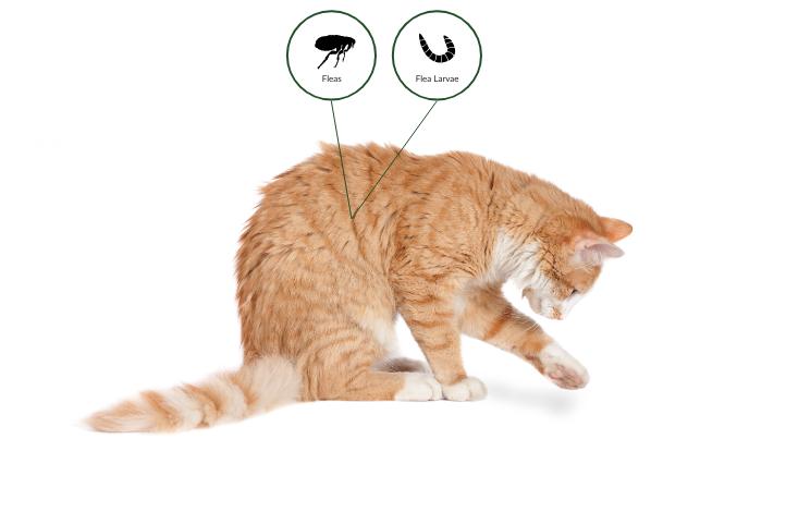Как и чем вывести блох у кота в домашних условиях