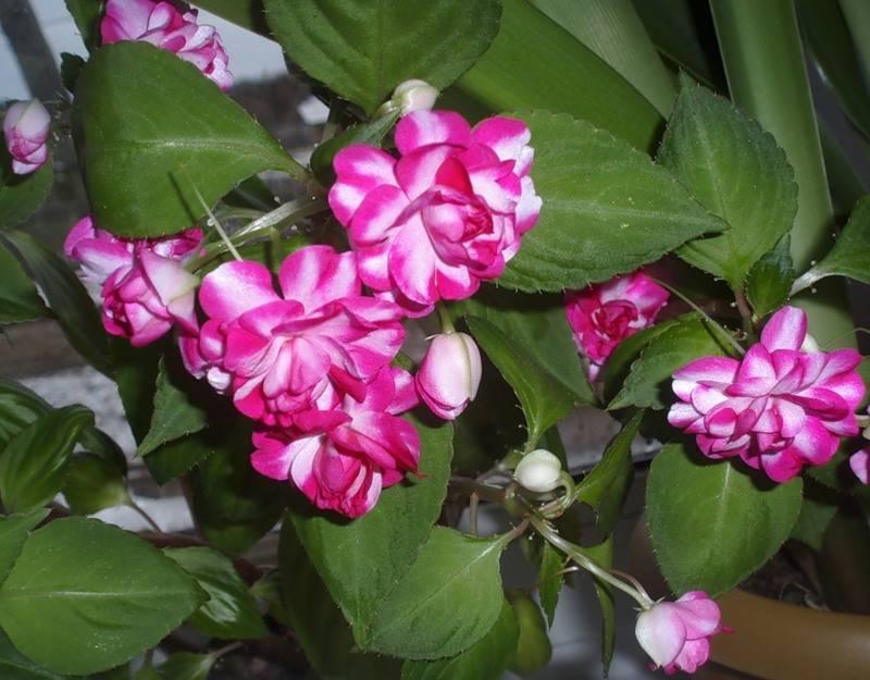 Как эффективно бороться с паутинным клещом на розах в домашних условиях. химические и народные способы – отзывы огородников и агрономов