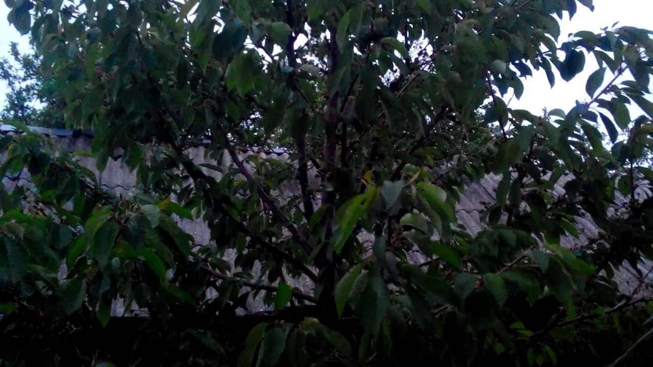 Способы избавления от тли на вишне