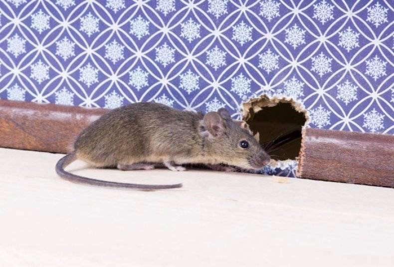 Рейтинг лучших отпугивателей мышей и крыс 2019 года для эффективной борьбы с вредителями
