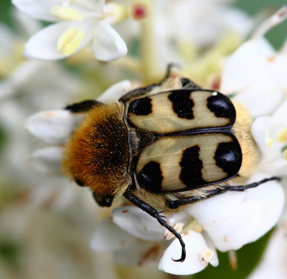 Восковик – блестящий жук