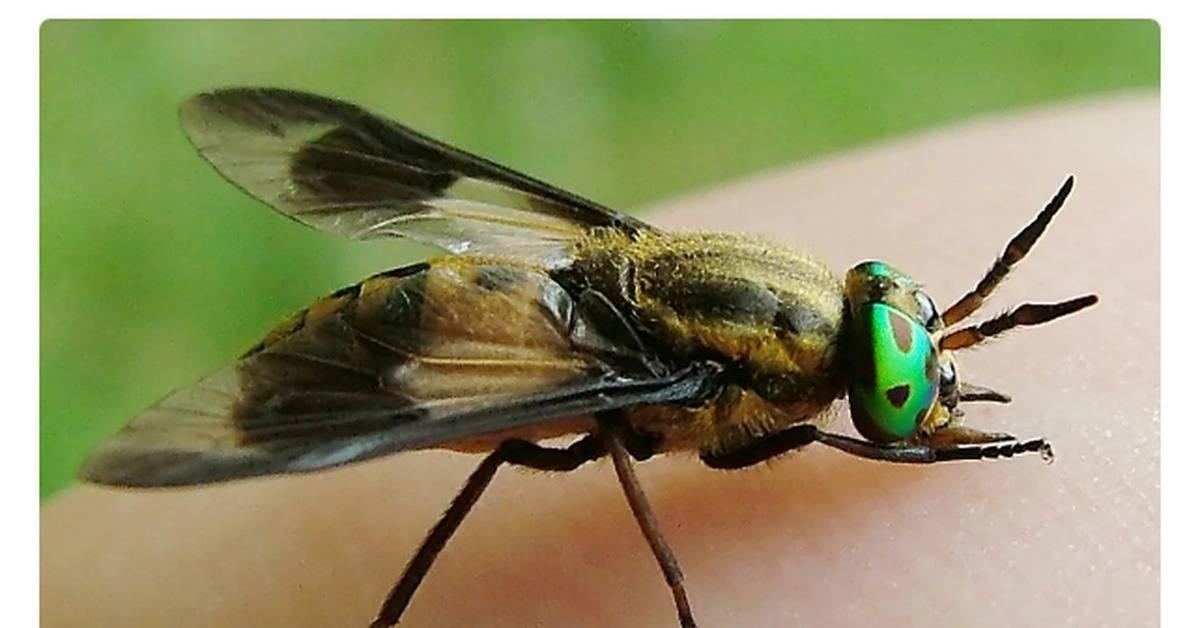 Как выглядит шершень, его отличие от осы