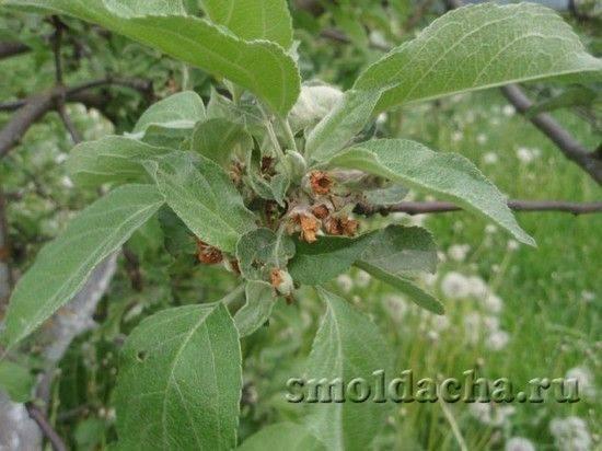 Цветоед яблоневый и способы избавления от него