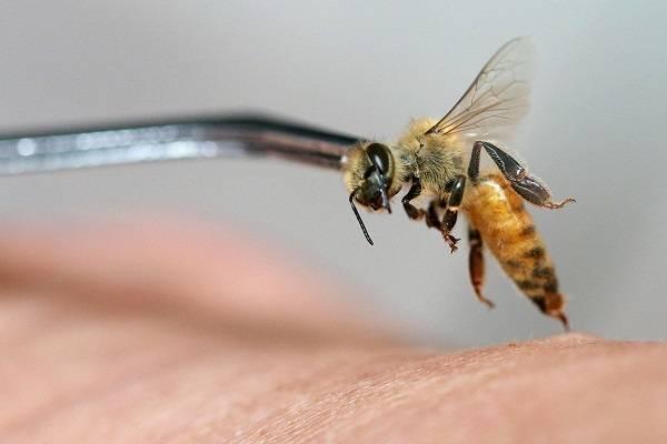 Малоизвестные возможности: лечение укусами пчел