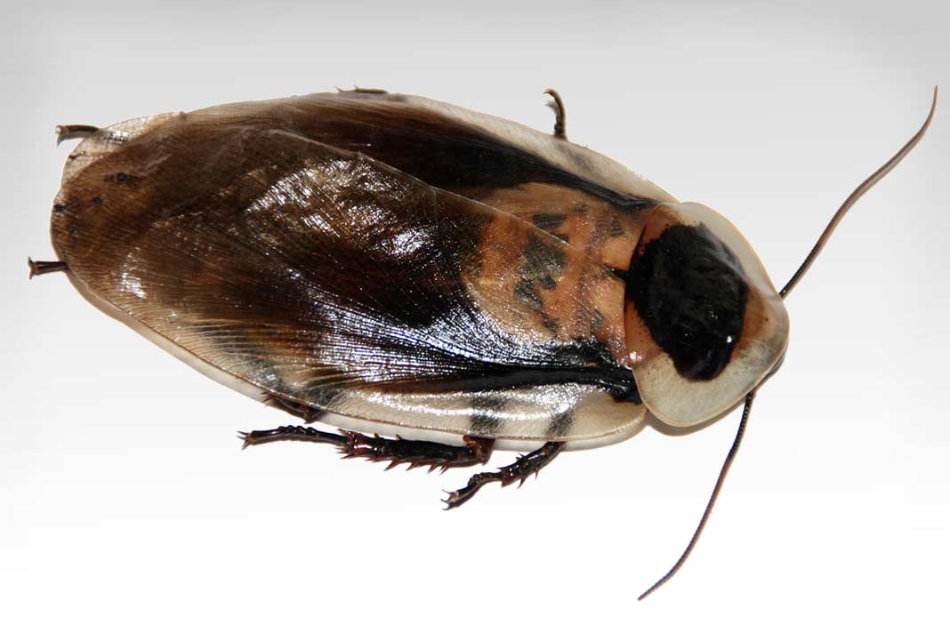 Командир среди инсектицидов! средства комбат от тараканов