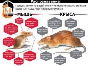 Чем похожа и отличается мышь от крысы