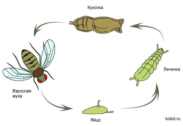 Продолжительность жизни мухи обыкновенной