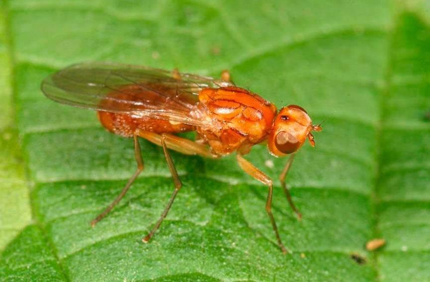 Морковная муха, как с ней бороться