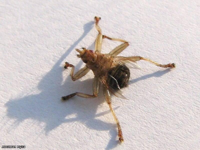 Лосиная вошь, или муха: чем опасна, способы борьбы