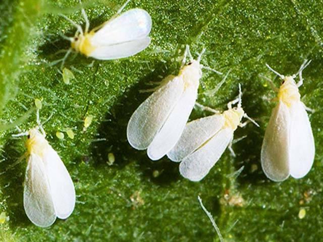 Методы и средства борьбы с белокрылкой на тепличных томатах в 2020 году: как наиболее эффектно защищать посадки и уничтожать насекомое, первые признаки опасности, чем угрожает эта мошка, сохраняем тепличные саженцы помидор здоровыми