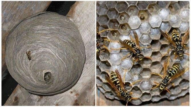 Как устроено гнездо осы, и каким образом оно используется в медицине? как птицы строят гнезда? как выглядит гнездо ос.