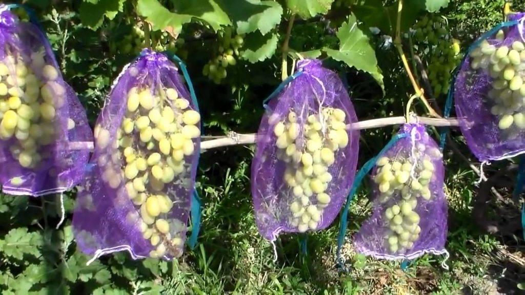 Методика борьбы с осами на винограднике