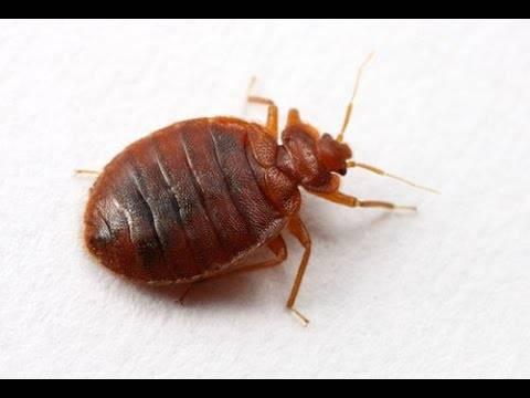 Опасны ли укусы клопов для взрослого человека, ребёнка или беременной женщины? могут ли насекомые переносить опасные заболевания?