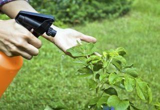 Несколько способов применения нашатырного спирта в саду и огороде