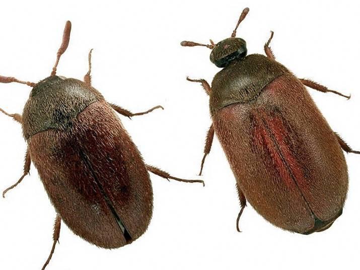 Маленькие коричневые жучки в квартире: как от них избавиться?