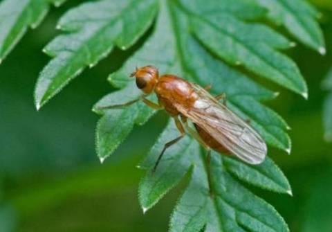 Морковная муха как с ней бороться?