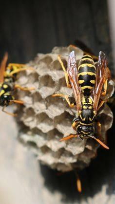 Делают ли осы мед? Особенности жизни насекомых