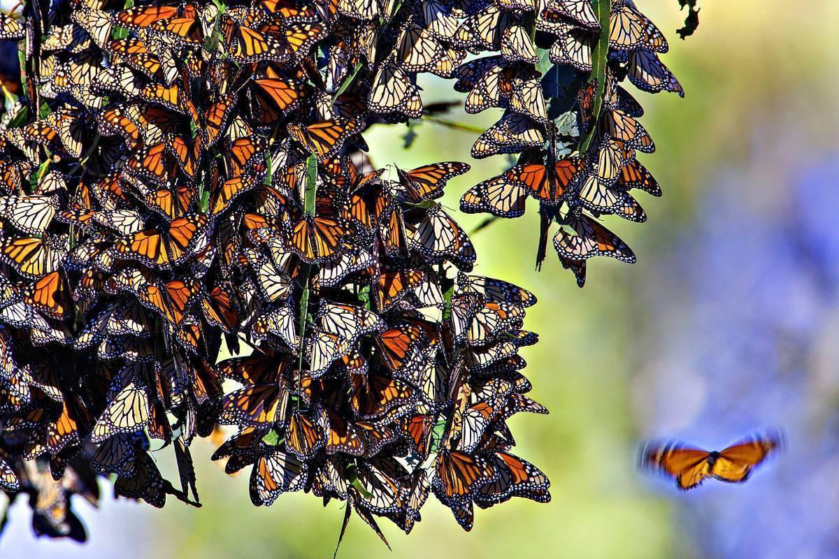 Вырастить бабочку из гусеницы – узнай