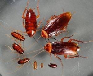 Тараканы в доме. как размножаются и выглядят непрошеные соседи?