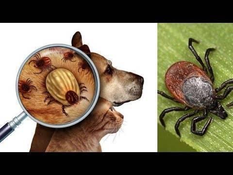 Собаку укусил клещ: что делать и как вытащить клеща у собаки правильно