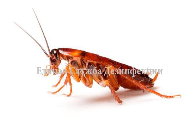 Как размножаются домашние тараканы, есть ли у них мозг и крылья — всё что вы хотели узнать