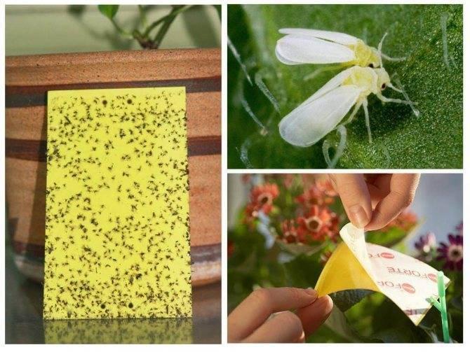 Борьба с белокрылкой на комнатных растениях