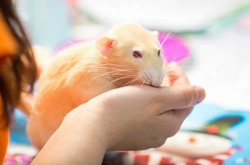 Сколько лет живут домашние крысы и от чего это зависит?
