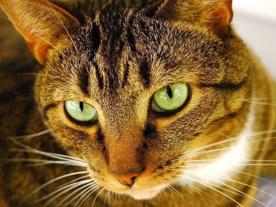 Как быстро вывести блох у домашней кошки?