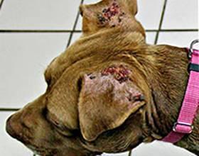 Можно ли лечить ушного клеща у собаки в домашних условиях и какие средства для этого нужны?