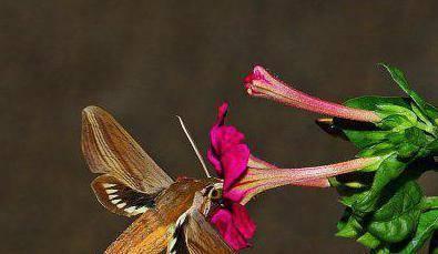 Бражник винный, бабочка