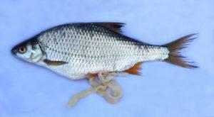 Глисты в скумбрии: как выглядят паразитические черви в свежей, замороженной, копченой рыбе
