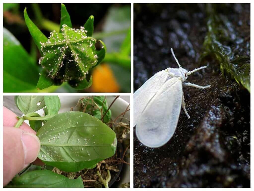 Как бороться с белокрылкой на комнатных растениях?