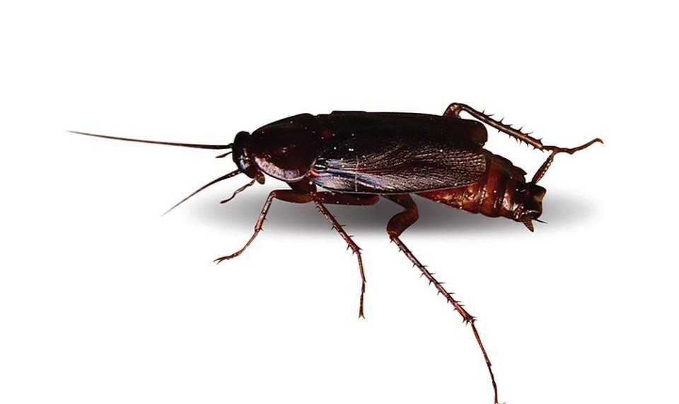 Что делать, если в квартире появились белые тараканы?