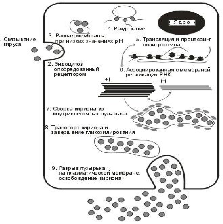 Аллергическая реакция на укус насекомых: место в мкб-10, причины, механизмы развития, признаки, помощь и прогноз