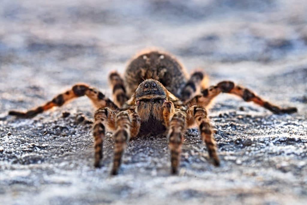 Описание и фото пауков московской области. самые известные и опасные пауки россии пауки живущие в средней полосе